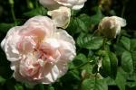 Rose Sharifa Asma Foto rosen-direct