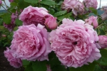 Rose Bienvenue (Delbard) Foto rosen-direct