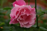 Rose Gregoire de Staechelin Foto rosen-direct