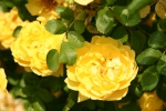 Rose foetida persiana Persian Yellow Foto rosen-direct