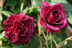 Rose Munstead Wood Foto rosen-direct