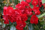 Rose Centennaire de Lourdes Rouge Foto Rosen-direct