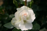 Rose Grand Nord Foto rosen-direct
