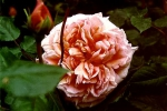Rose Abraham Darby Foto rosen-direct