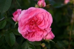 Rose: Gertrude Jekyll Foto Rosen-Direct.de