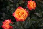 Rose: Mein München Foto Rosen-Direct.de