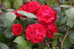 Rose: Paul's Scarlet Climber Foto Rosen-Direct.de