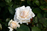 Rose Princess of Wales  Foto rosen-direct
