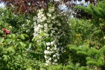 Rose Rambling Rector Foto rosen-direct