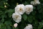 Rosa alba Suaveolens Foto Rosen-direct