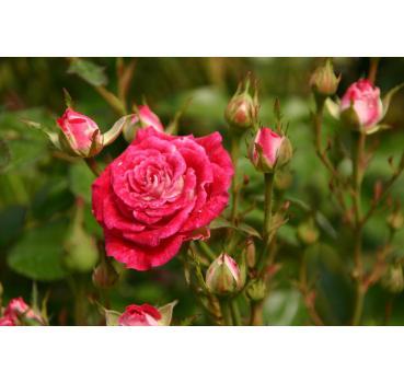 sch ne dortmunderin und andere rosen kaufen sie g nstig im online shop von rosen. Black Bedroom Furniture Sets. Home Design Ideas