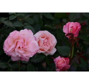 Audrey hepburn and other roses you can buy at the online shop of audrey hepburn mightylinksfo