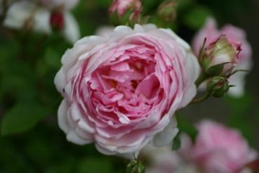 Rose: Wife of Bath Foto Rosen-Direct.de