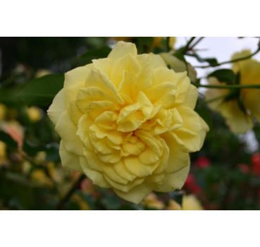 sterntaler und andere rosen kaufen sie g nstig im online shop von rosen. Black Bedroom Furniture Sets. Home Design Ideas