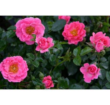 zwergrosen und andere rosen kaufen sie g nstig im online. Black Bedroom Furniture Sets. Home Design Ideas