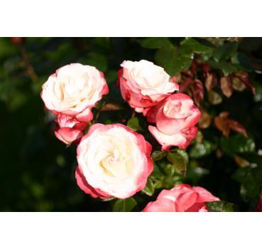 nostalgie hochstamm und andere rosen kaufen sie g nstig im online shop von rosen. Black Bedroom Furniture Sets. Home Design Ideas