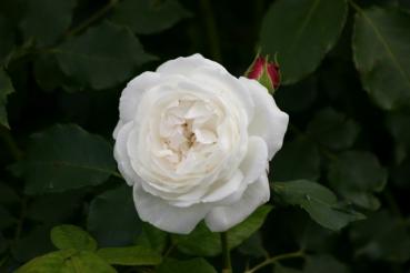 Rose: Boule de Neige Foto Rosen-Direct.de