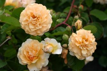 Rose Buff Beauty (Bentall) Foto Rosen-direct