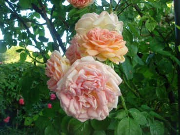 Rose: Alchymist Foto Rosen-Direct.de