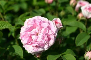 Rose Königin von Dänemark Foto rosen-direc