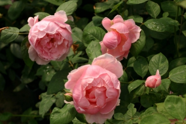 Rose Brother Cadfael  Foto Rosen-direct