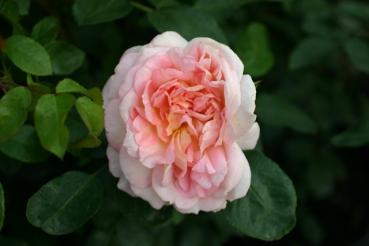 Rose Amaretto Foto Rosen-direct