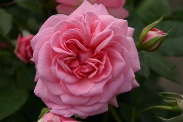 Rose Mamma Mia (Poulsen) Foto Rosen-direct