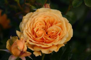 Rose: Amber Queen Foto Rosen-Direct.de