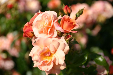 ADR - Rose: Apricola Foto Rosen-Direct.de