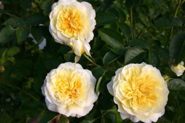 Rose: Gartenarchitekt Günther Schulze - The Pilgrim Foto Rosen-Direct.de