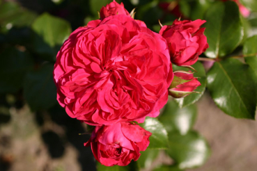 Rose Red Leonardo da Vinci  Foto Rosen-direct