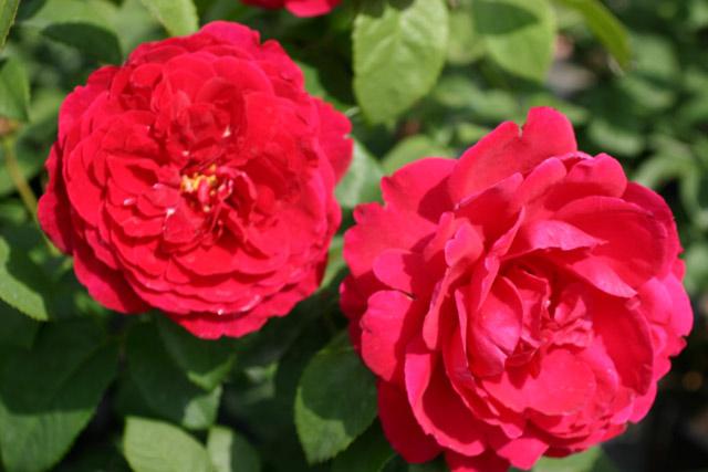 l d braitwaite und andere rosen kaufen sie g nstig im online shop von rosen. Black Bedroom Furniture Sets. Home Design Ideas
