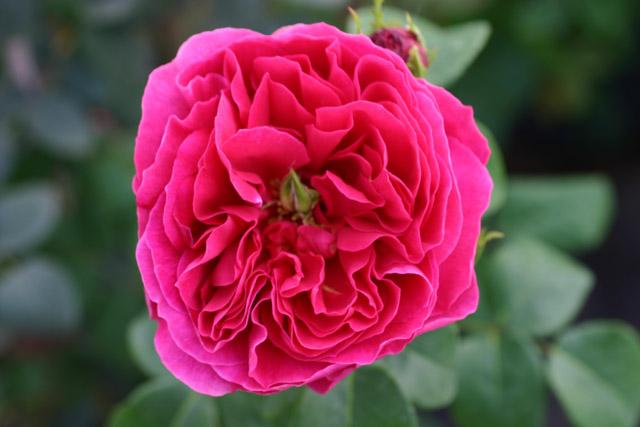 othello und andere rosen kaufen sie g nstig im online. Black Bedroom Furniture Sets. Home Design Ideas