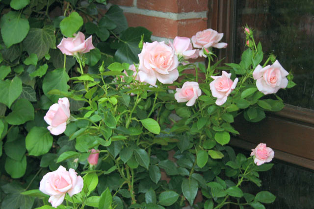Audrey hepburn and other roses you can buy at the online shop of audrey hepburn bare root a qual mightylinksfo