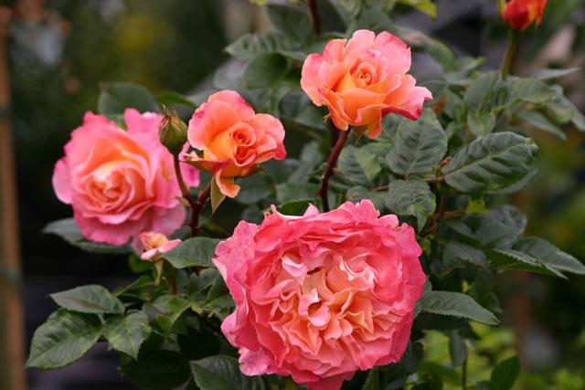 augusta luise und andere rosen kaufen sie g nstig im. Black Bedroom Furniture Sets. Home Design Ideas