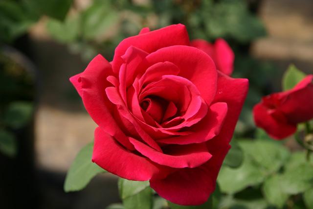 mister lincoln und andere rosen kaufen sie g nstig im. Black Bedroom Furniture Sets. Home Design Ideas