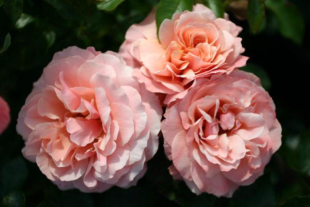 botticelli und andere rosen kaufen sie g nstig im online shop von rosen. Black Bedroom Furniture Sets. Home Design Ideas