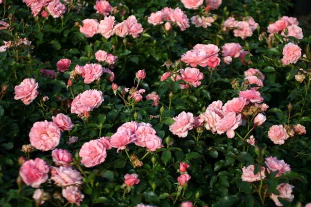 botticelli und andere rosen kaufen sie g nstig im online. Black Bedroom Furniture Sets. Home Design Ideas
