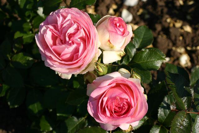 eden rose 85 hochstamm und andere rosen kaufen sie g nstig im online shop von rosen. Black Bedroom Furniture Sets. Home Design Ideas