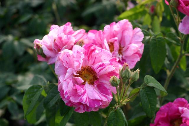 Rosa Mundi Rosa gallica Versicolor  Foto rosendirect