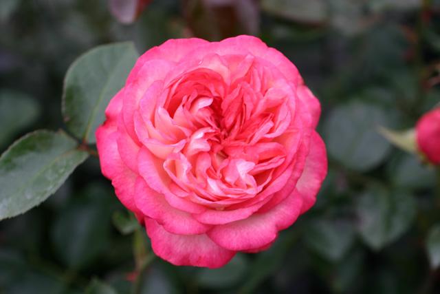 Rose: Antike 89 Foto Rosen-Direct