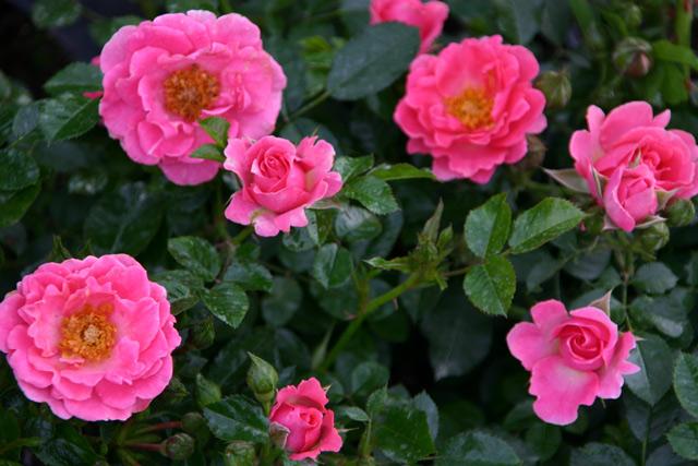 Rose Zwergkönigin Foto Rosen-direct