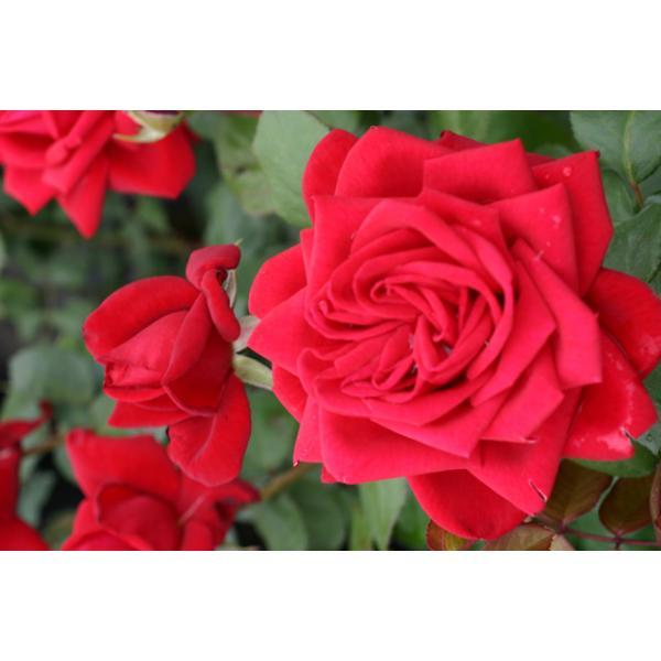 Topf Container Rose im 4 ltr Burgund 81/®