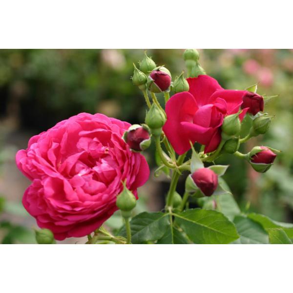 Rose Cybelle Foto Rosen-direct