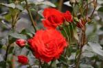 Rose: Kordes Brillant Foto Rosen-Direct