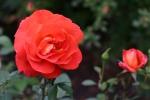 Rose: Las Vegas Foto Rosen-Direct