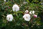Rose: Little White Pet Foto Rosen-Direct.de