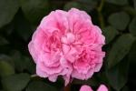 Rose: Mary Rose Foto Rosen-Direct.de