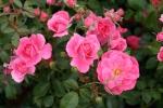 Rose: Mme Boll Foto Rosen-Direct.de
