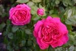 Rose: Mme Isaac Pereire Foto Rosen-Direct.de